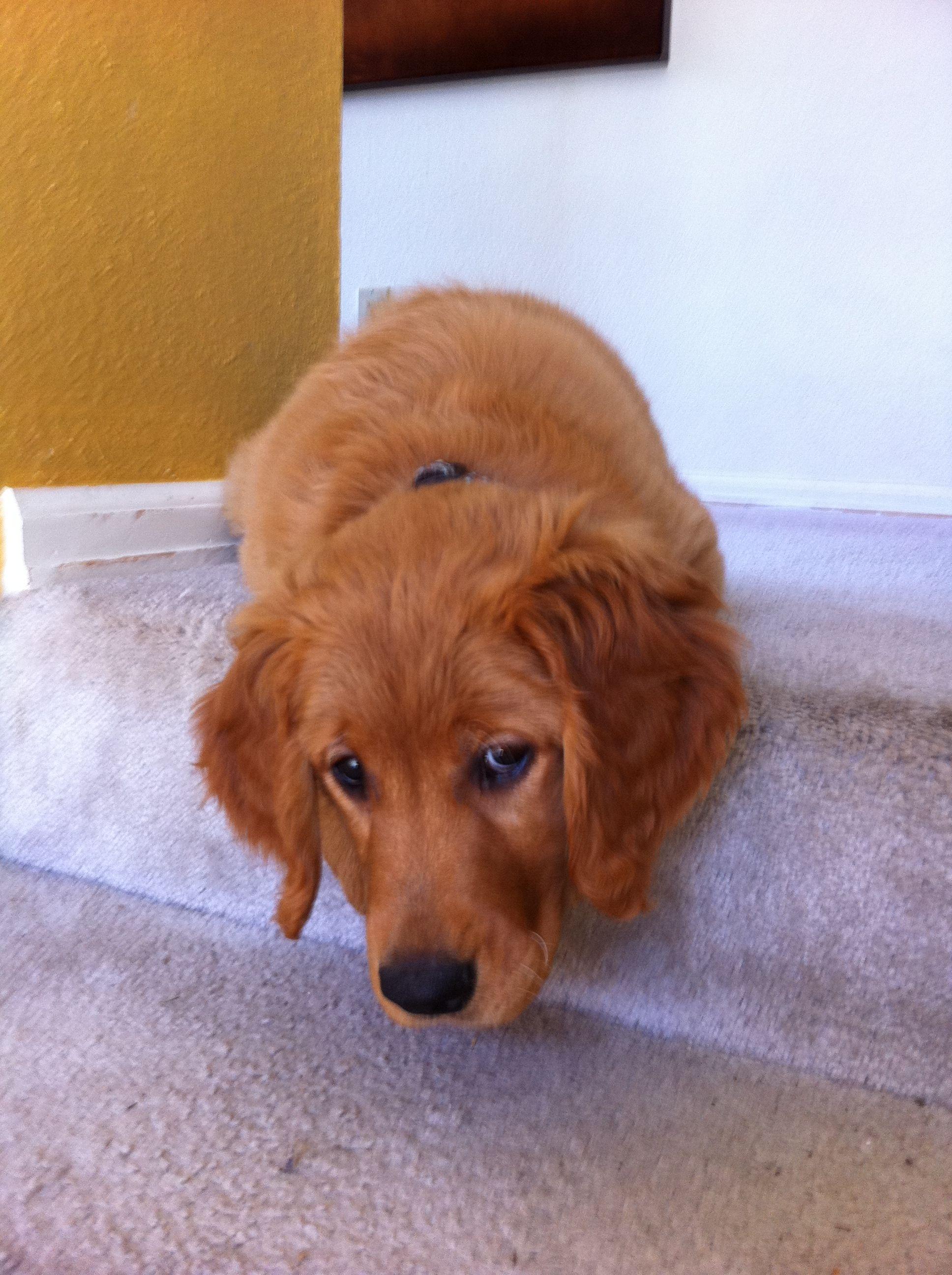 Cute Kohana My Sweet Golden Retreiver Puppy Red Retriever Puppy