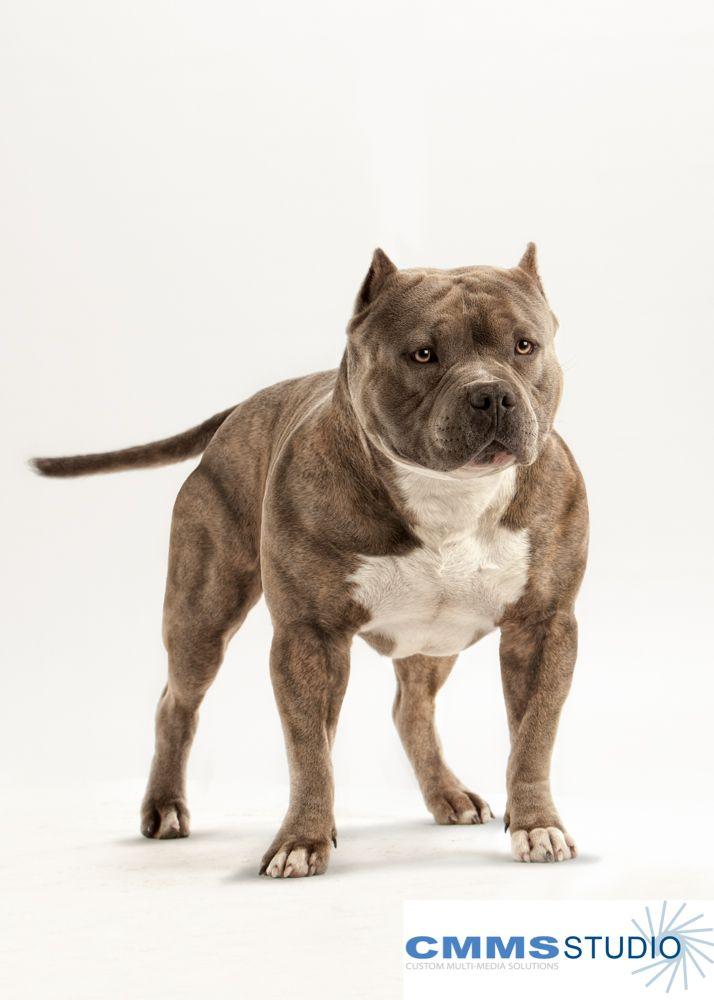 Pitbull Photography Pitbulls Best Dogs Bully Breeds