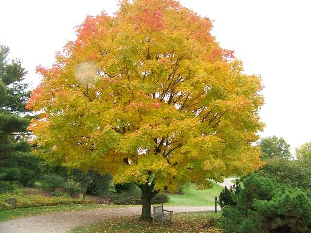 Acer Saccharum Green Mountain Green Mountain Sugar Maple Picture Detail Red Maple Tree Trees To Plant Deciduous Trees