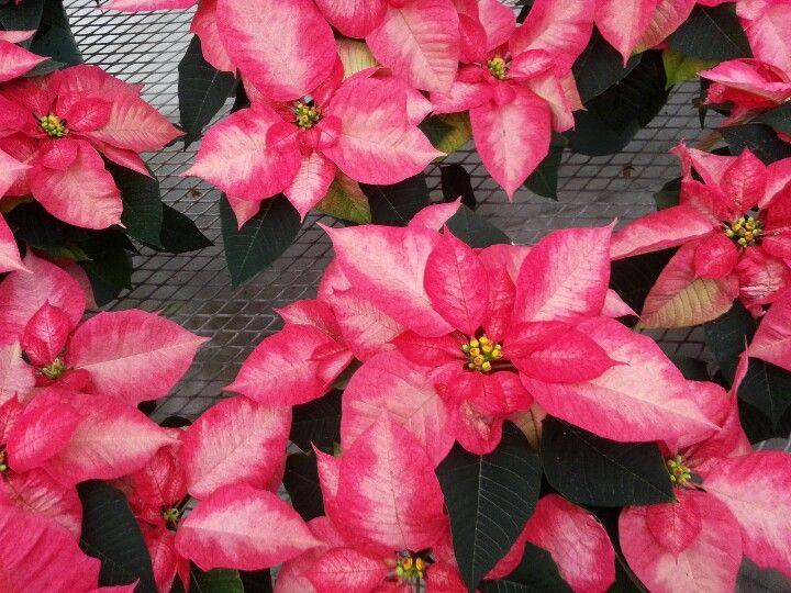 A Novelty Poinsettia Ice Crystal Https Www Houseplant411 Com Houseplant Poinsettia How To Grow Care Tips Christmas Plants Poinsettia Flowers