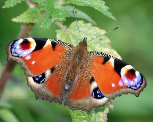 Butterfly w/ orange & black & white & blue