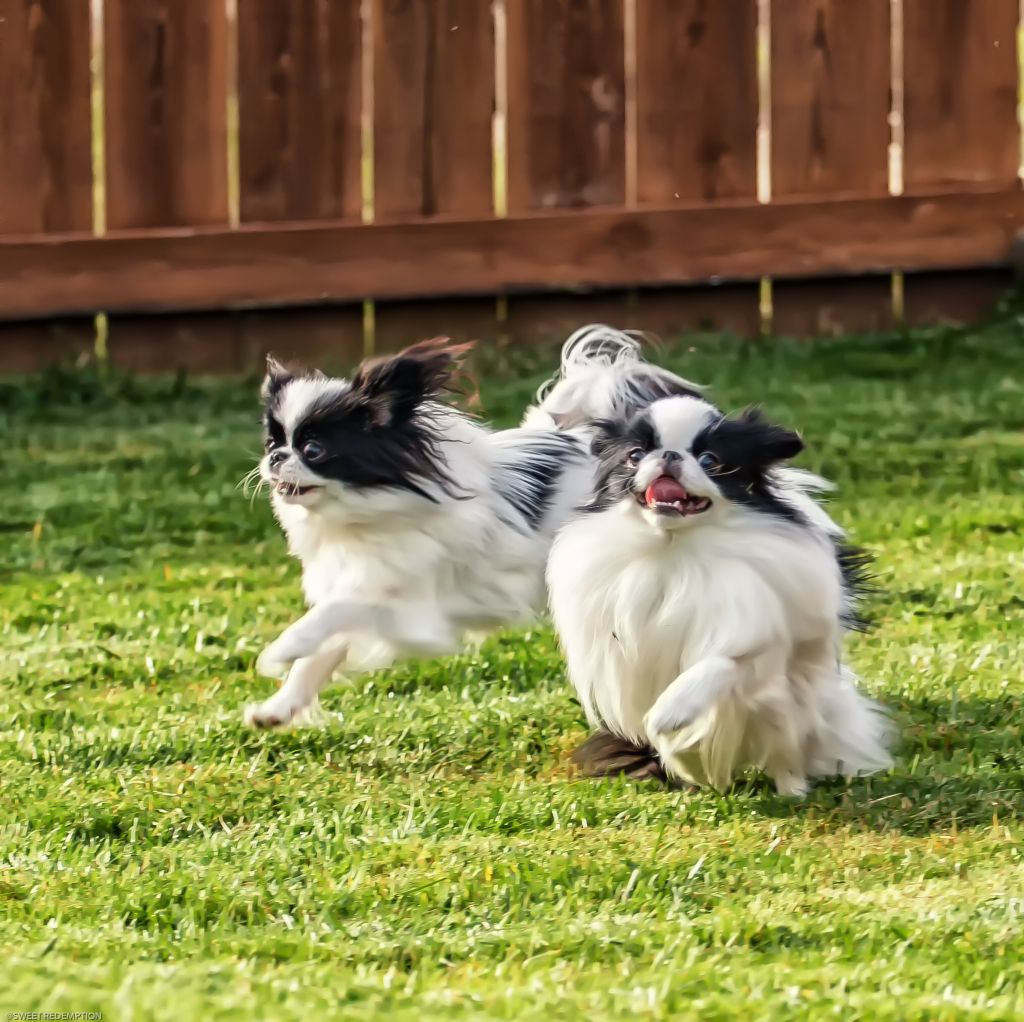 A Fantastic Day With Images Japanese Chin Dog Japanese Chin Pets