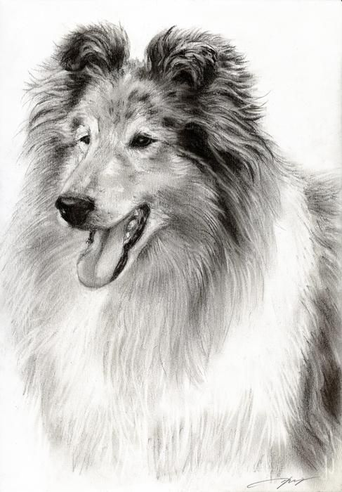 Drawing Collies Collie Drawing Dog Portraits Dog Art Animal