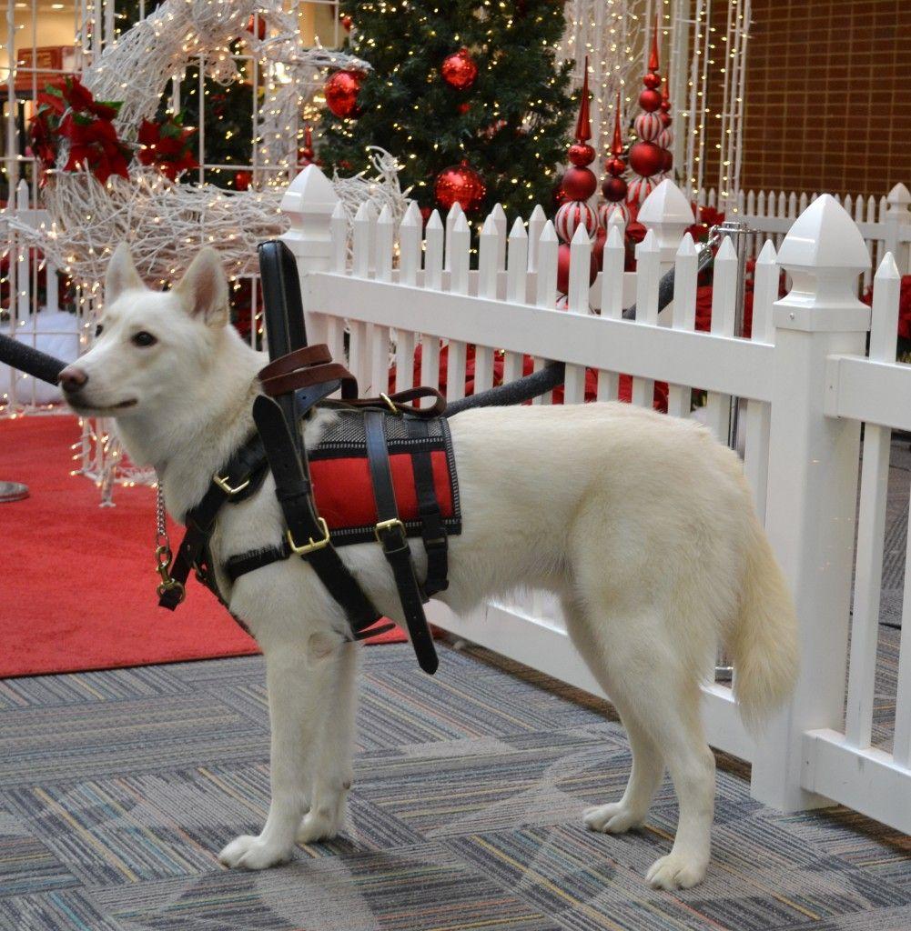 Mobility Assistance Service Dog Service dogs, Service