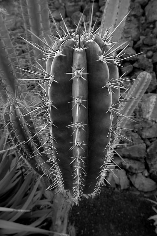 #Cactus Garden, #Lanzarote, #CanaryIslands - The Cactus Garden of Lanzarote was designed by César Manrique and opened in 1990. It shows of more than 1400 different spieces of cactus on 5000m². - www.gdecooman.fr portfolio, cours et stages photo à Lille, visites guidées de Lille.