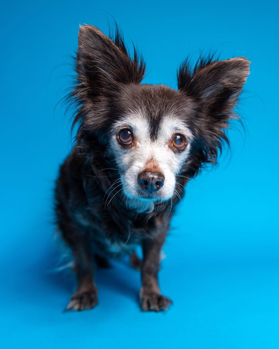 Flea The 16 5yr Old Long Haired Chihuahua Mix Shes The Biggest