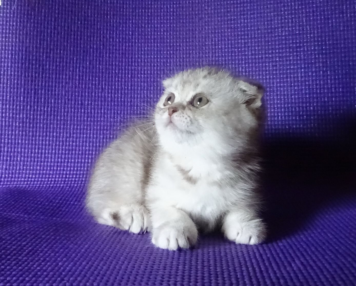 Scottish Fold Blue Tabby Kitten