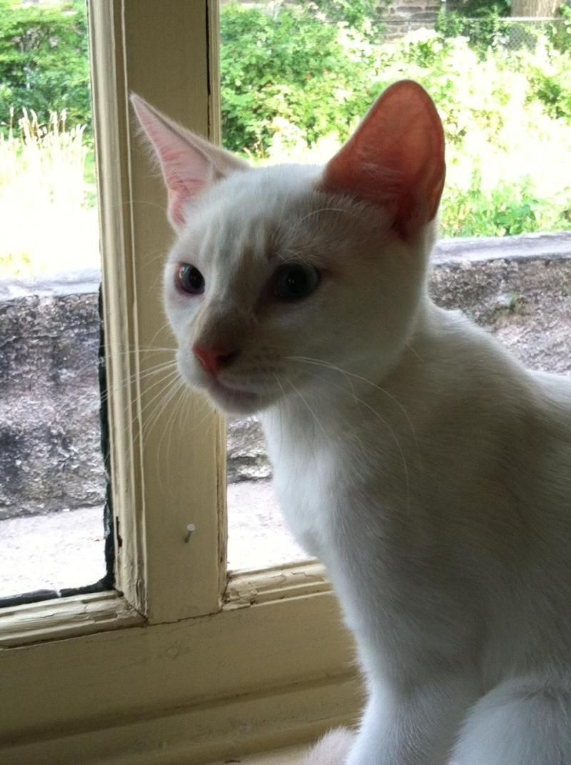 Adopt Sir Lancelot on Siamese cats, Cats, Cat rescue