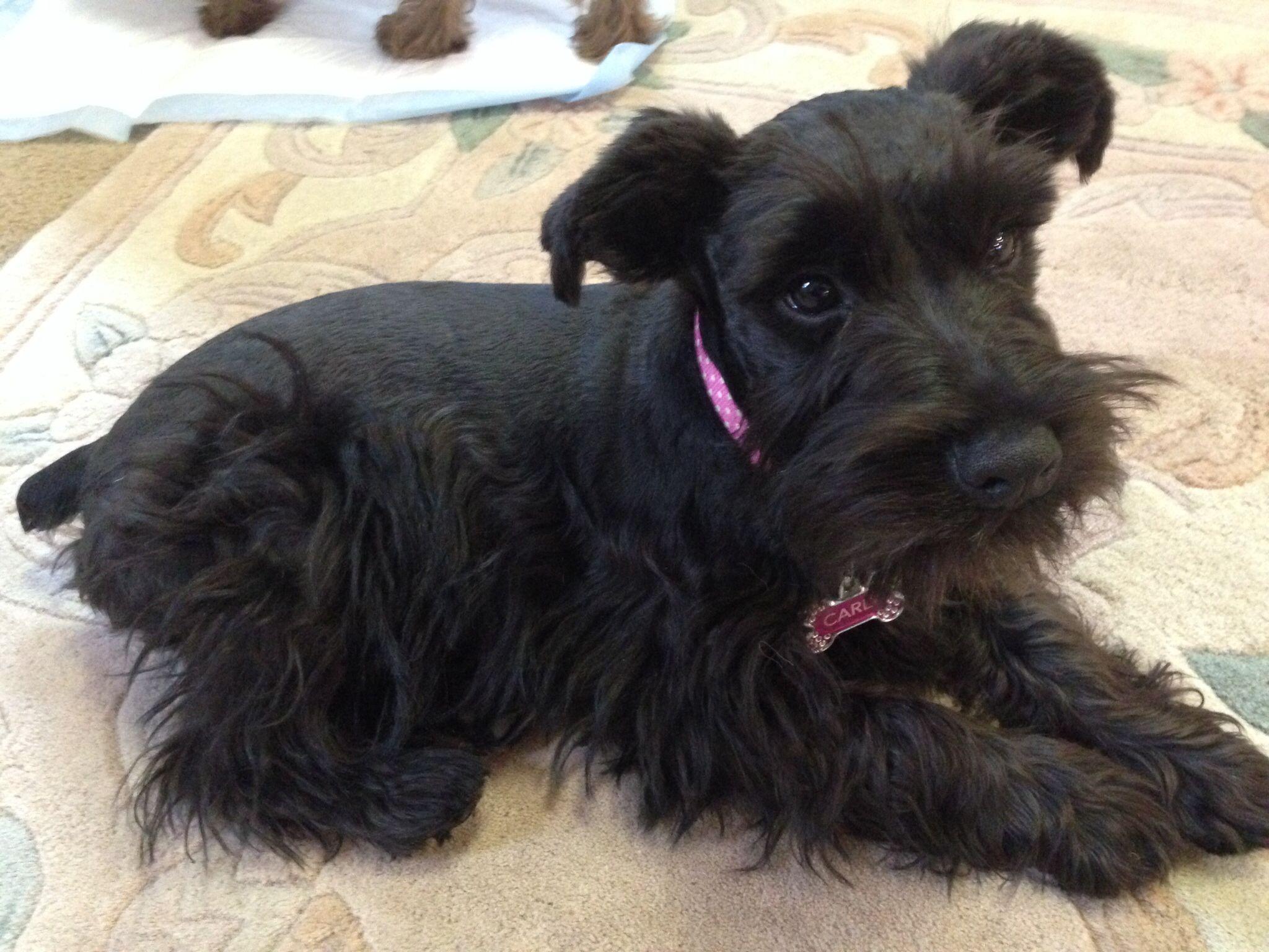 Carly Mini Schnauzer Puppy 5 Months Old Miniature Schnauzer
