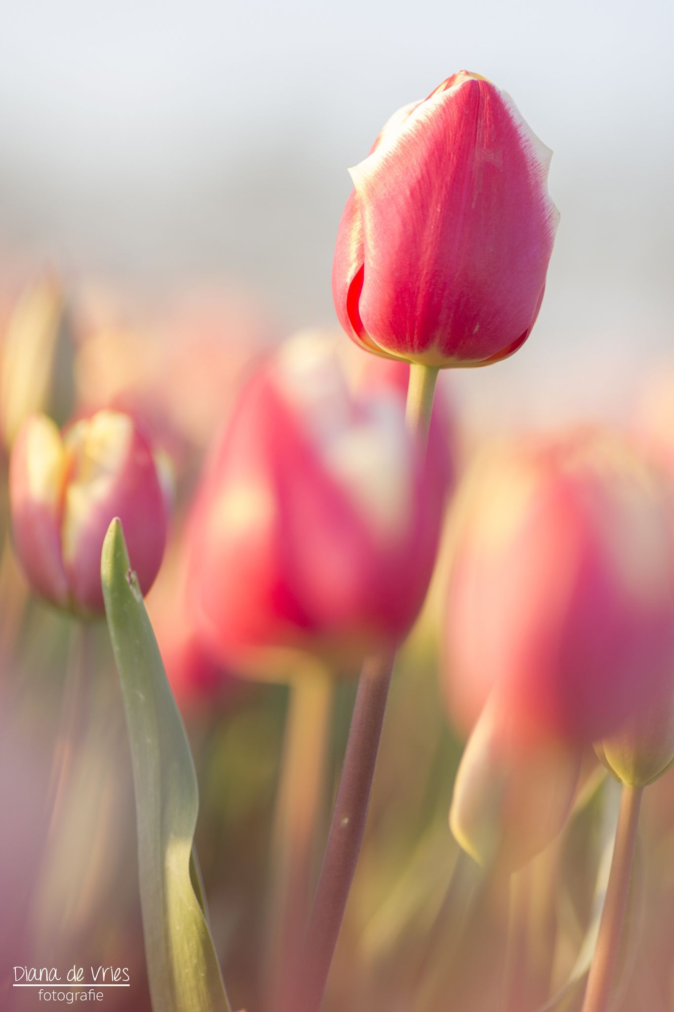 Pink tulip by Diana de Vries on 500px