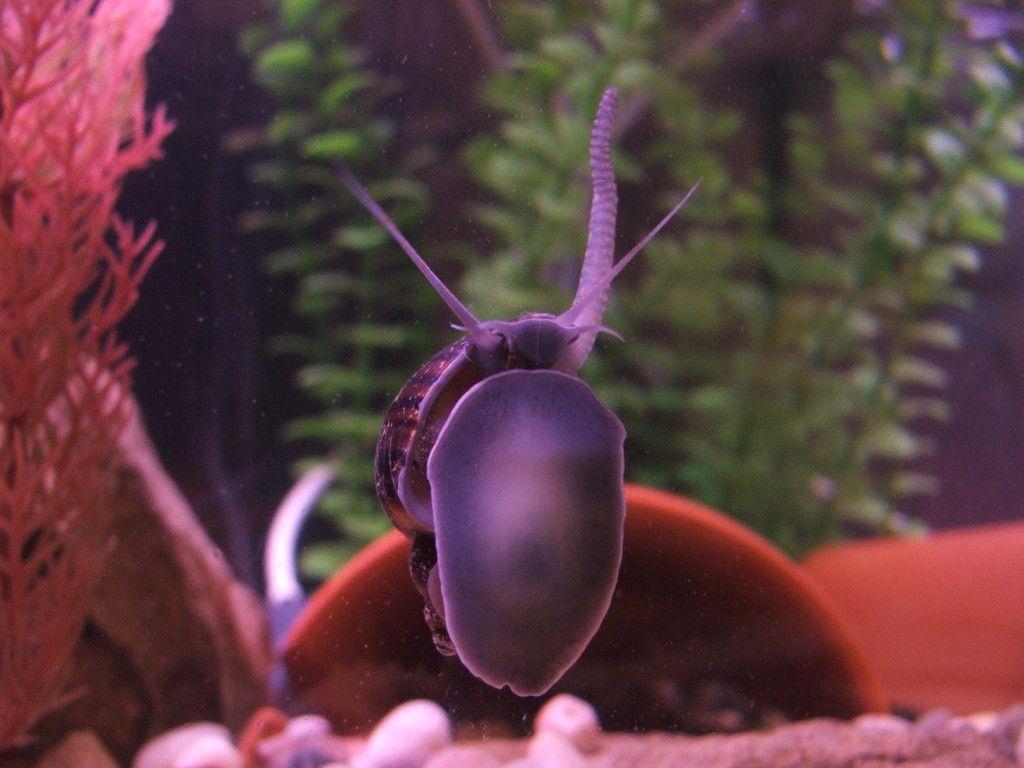 Freshwater aquarium fish that eat snails - Parts Of An Apple Snails Apple Snail Care Sheet Critter Hub Freshwater Aquariumbetta Fishfresh