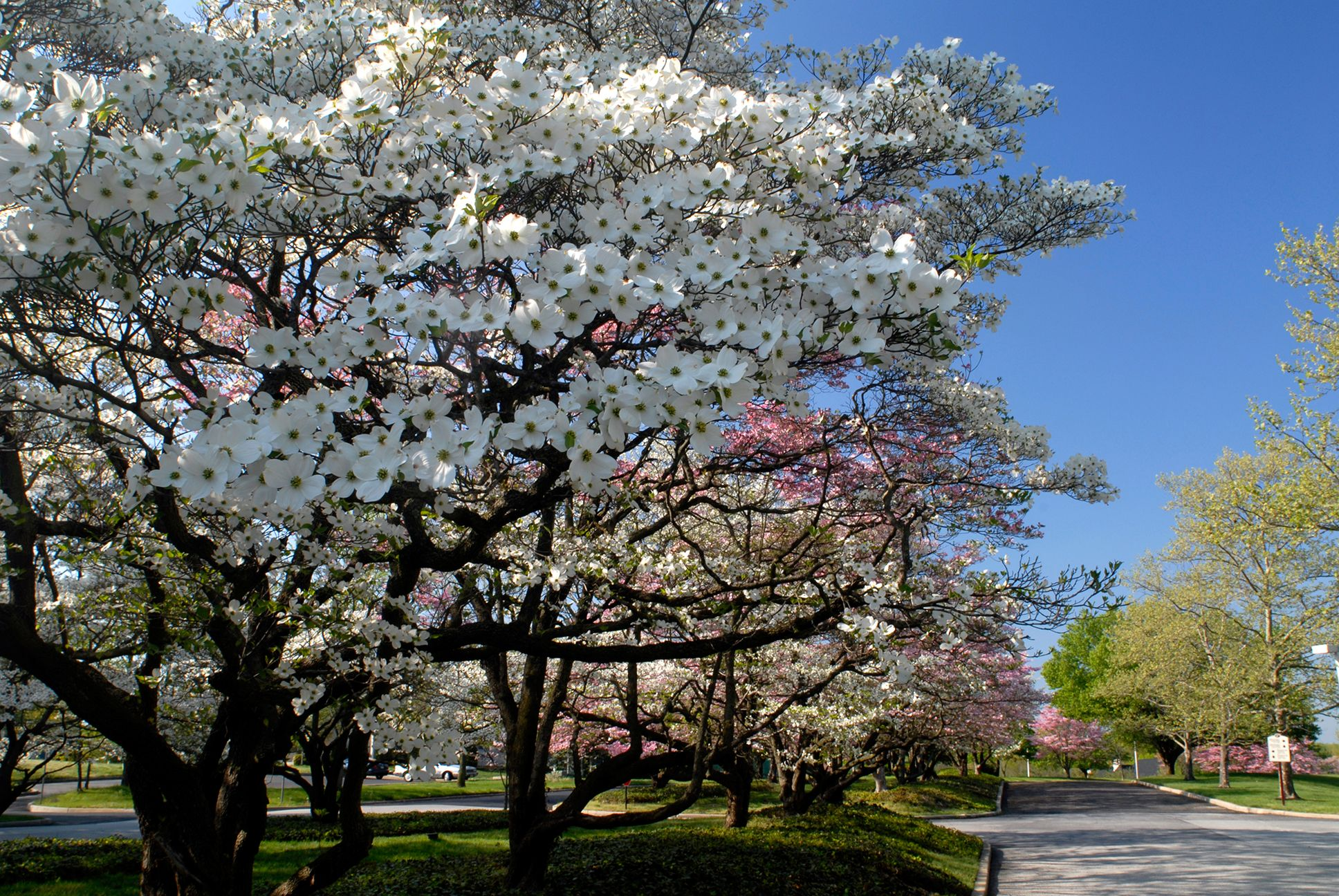 Spring Is In Full Swing You Know That Saying April Showers Bring May Flowers Well Amidst Our April Showers Dogwood Trees Fast Growing Trees Flowering Trees