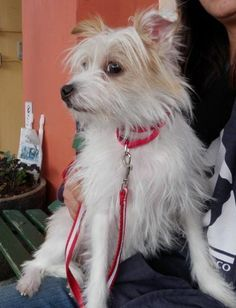 White Cairn Terrier Chihuahua Mix Stuff That Needed A Category