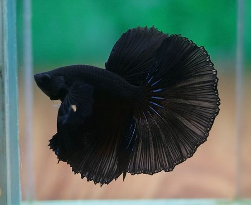 Melano Black Betta Fish Google Search Betta Fish Types Betta Fish Toys Betta Aquarium