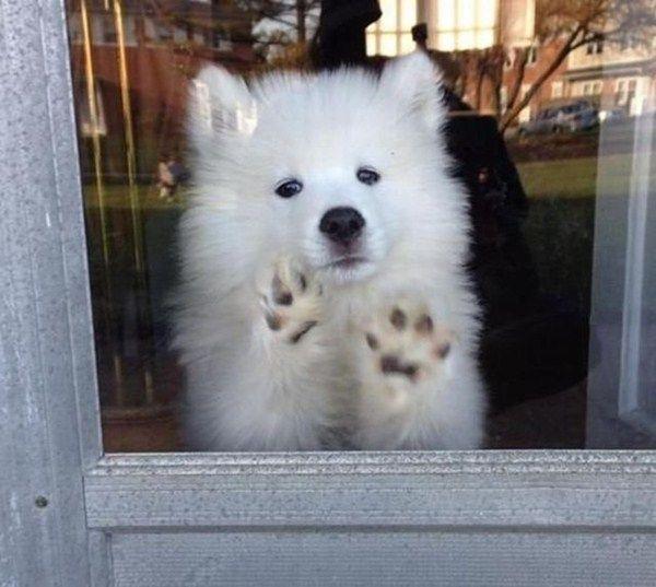 Fantastic Samoyed Chubby Adorable Dog - d957b3ee231fc2de996ca80455ac5760  Image_386073  .jpg