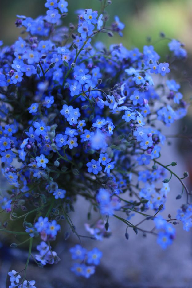 forget me not   Things I like   Pinterest   Favorite color  Forget     Summer is in full bloom