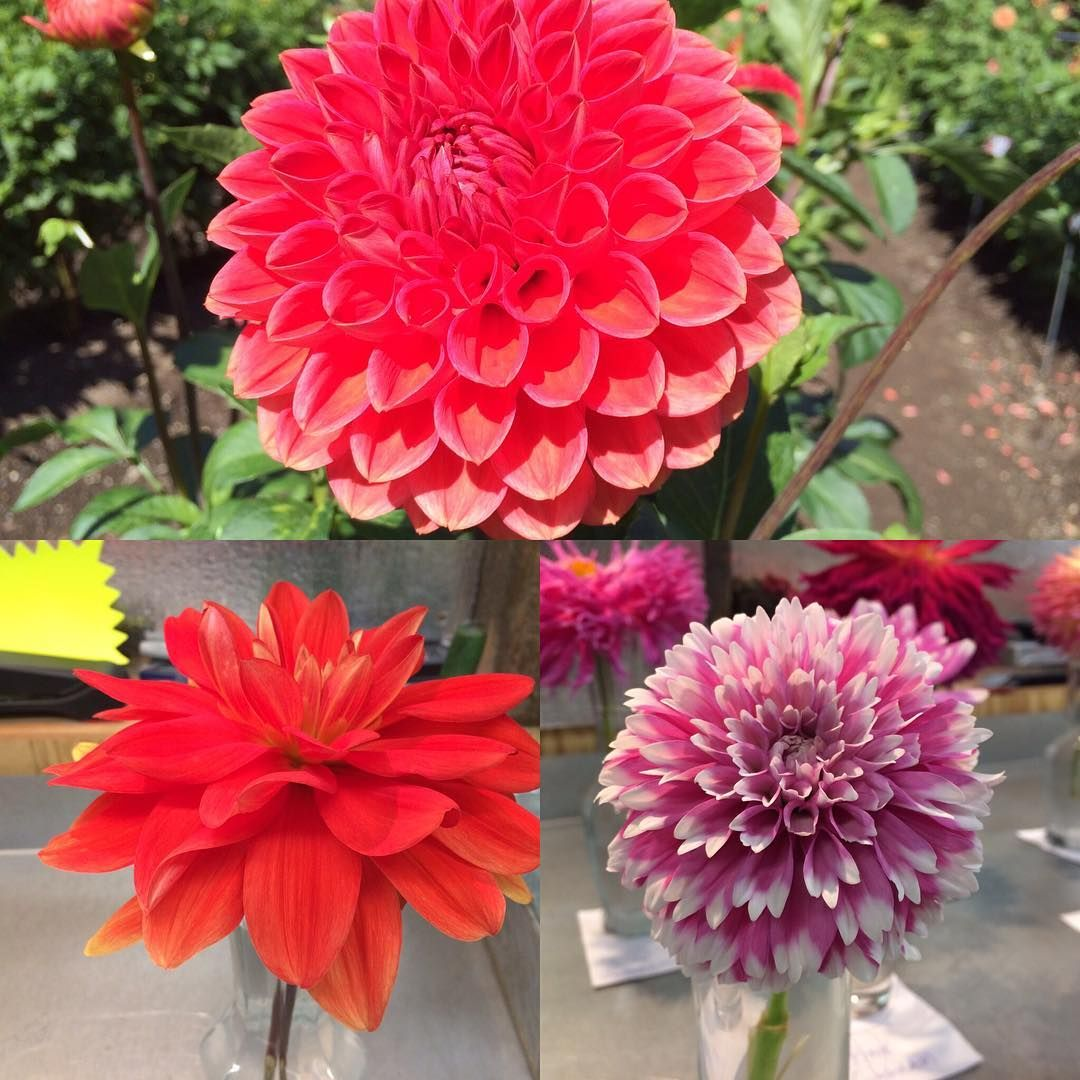 Winners Of Last Weekends People S Choice Dahlia Show Is 3 Fuzzy Wuzzy 2 Patricia Ann S Sunset And 1 Tempest Flow In 2020 Flower Festival Floral Wreath Flowers