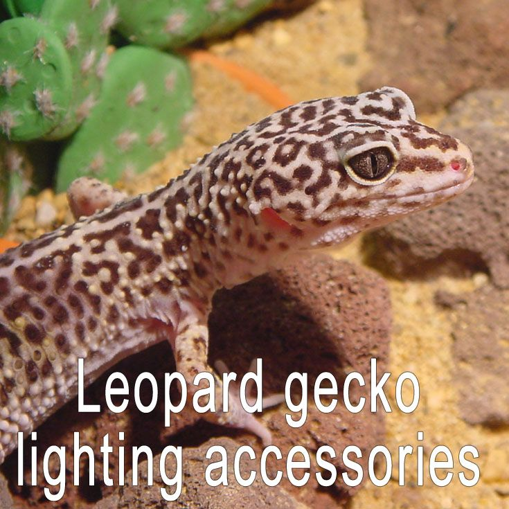 Leopard Geckos Need Very Little Lighting To Do Well As Pets. Unlike Diurnal  (day Living) Reptiles, They Do Not Need Any Additional Ultraviolet Lighting.