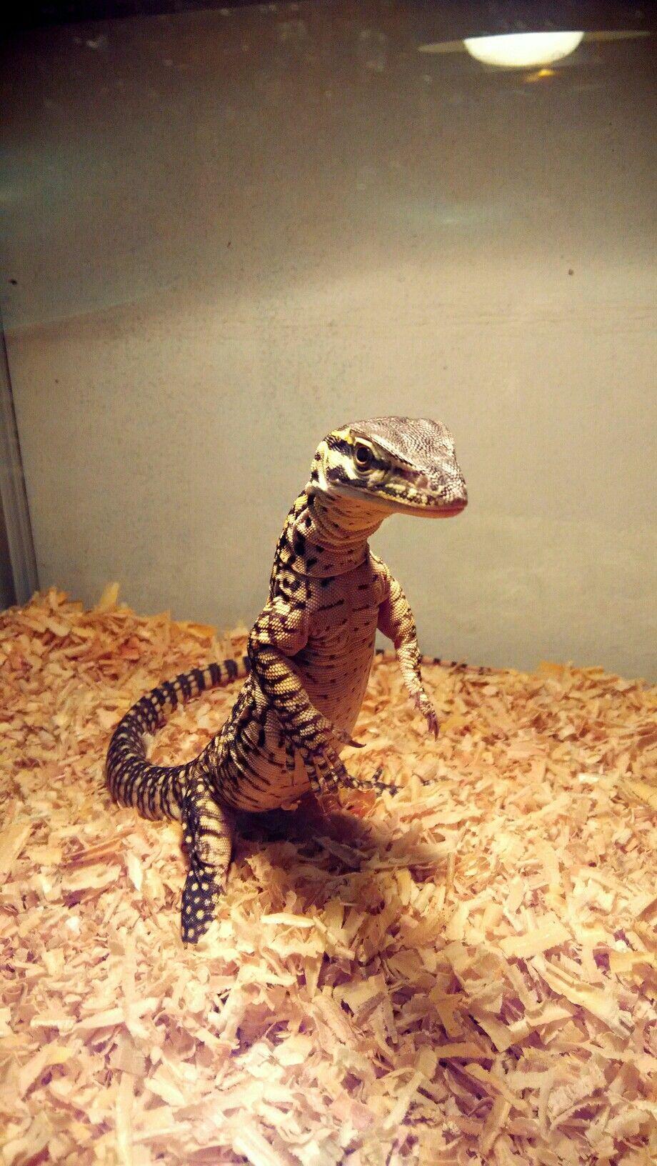 tripod argus monitor / varanus panoptes horni | Pet lizards, Cute reptiles,  Reptiles pet