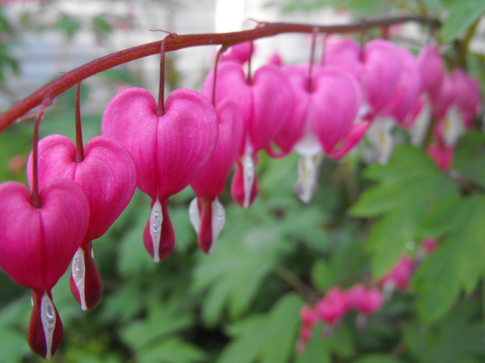 Bleeding Harts Bleeding Heart Flower Bleeding Heart Flower Heart