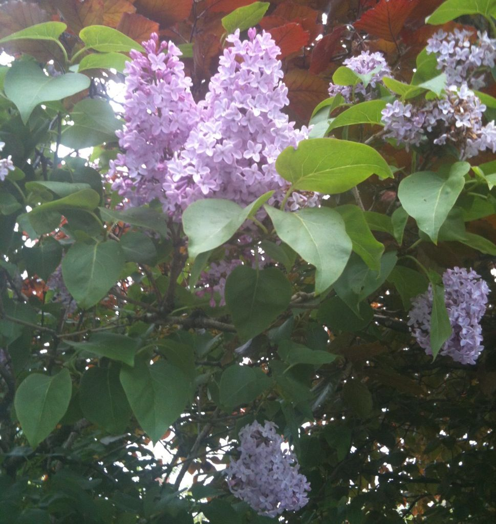 Pin By June Duke On English Spring And Summer Gardens Lilac Tree Plant Life Summer Garden