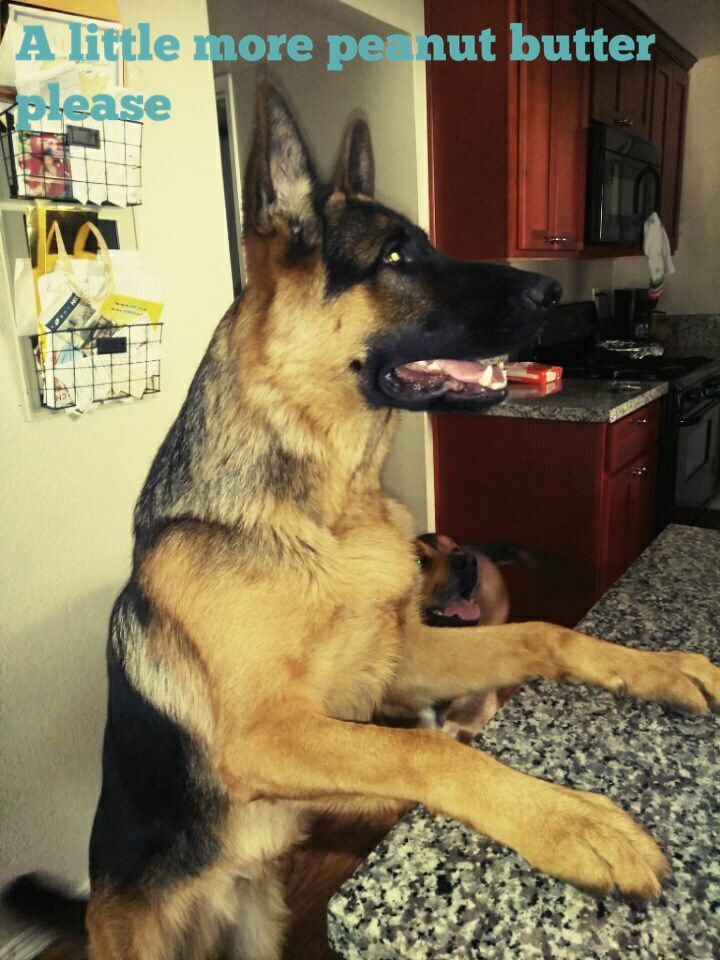 This Gsd Knows What He Wants German Shepherd Pictures German
