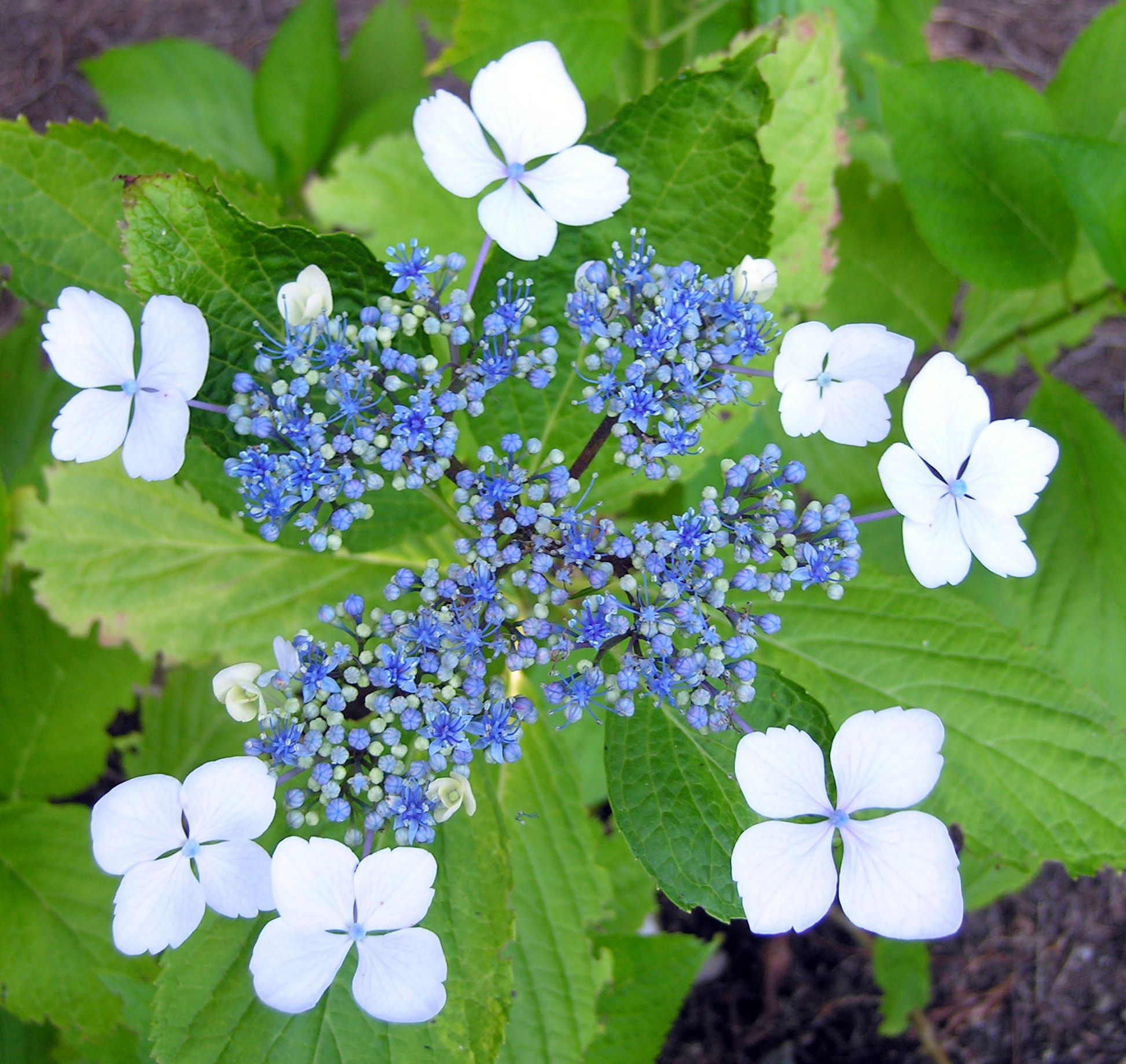Hydrangea Serrata Grayswood Imported From Japan To England In 1888 Still Recognised As An Excellent Hydr Hydrangea Serrata Hydrangea Macrophylla Hydrangea