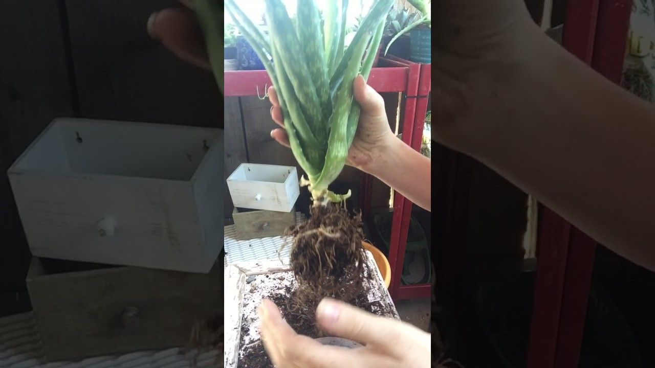 Repotting And Dividing Aloe Vera Plant Part 1 | Aloe vera ...
