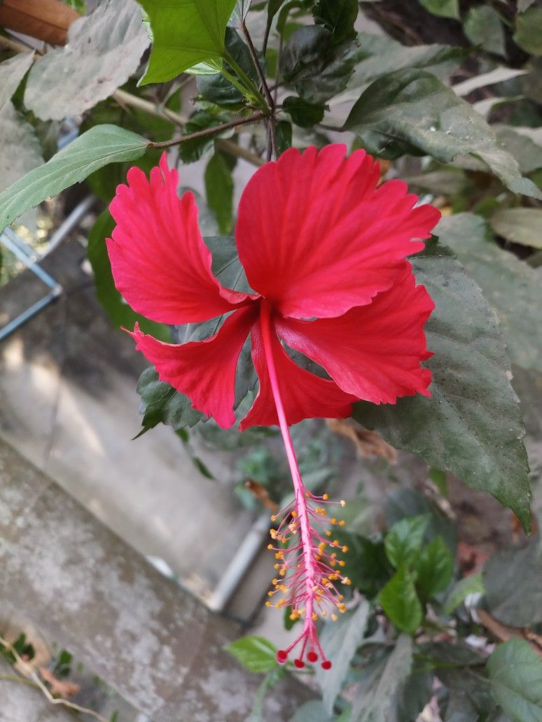 Pin By Bablu Mandal On 11 With Images Hibiscus Red Flowers Flowers