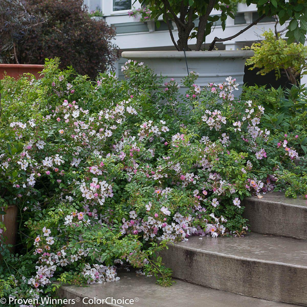 Simple Rose Garden: Oso Easy Roses - Google Search