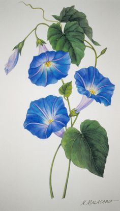 Blue Morning Glory Riley Flower Painting Watercolor Flowers Flower Art