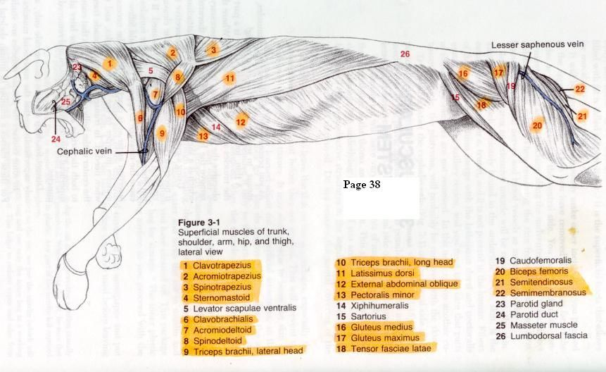 cat muscles | Lateral View External Muscles | cat muscles ...