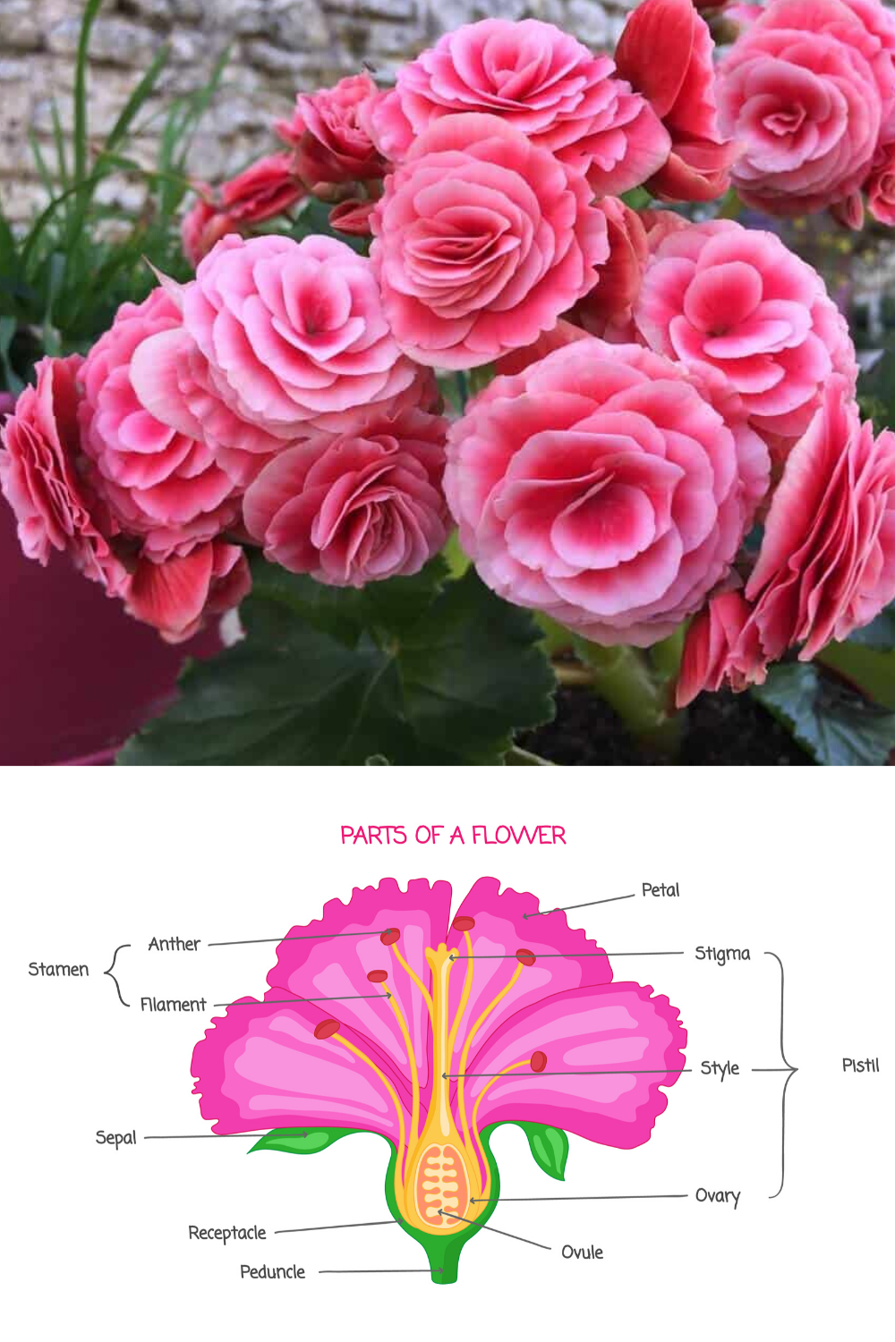 30 Types Of Pink And Fuchsia Flowers A Z Photos In 2020 Parts Of A Flower Flowers Fuchsia Flowers