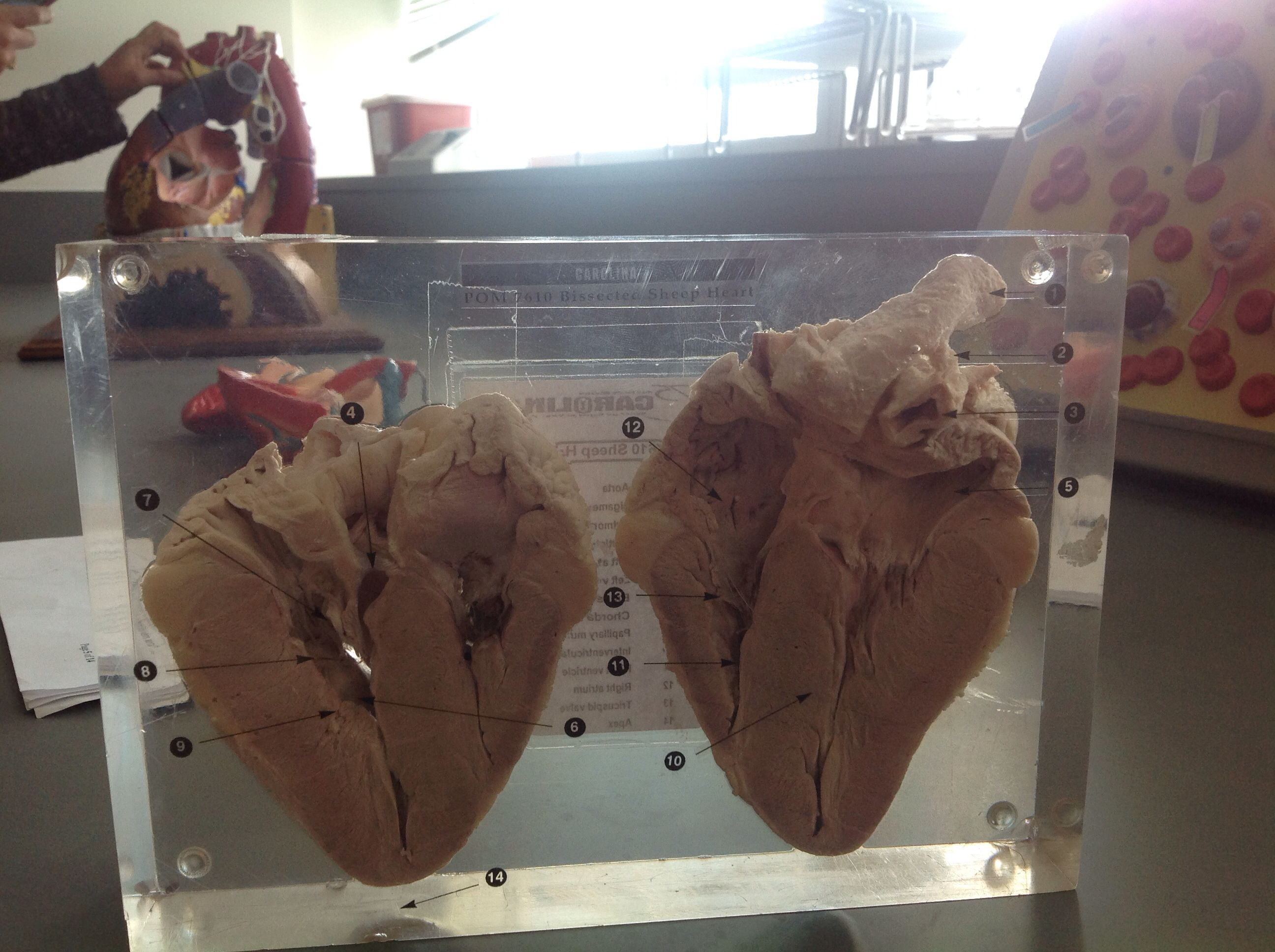 Sheep heart | Anatomy and physiology 2 pictures | Pinterest