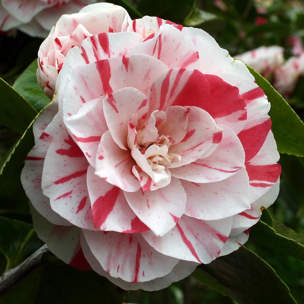 Camellia Lavinia Maggi Red And White Flowers Flowers Plants
