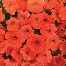 African Sunset Hybrid Petunia A New Designer Color That Packs A