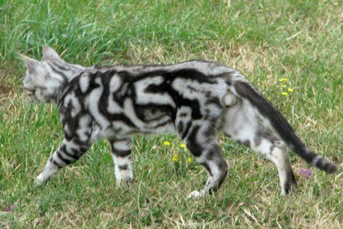 Silver Marble Bengal Cat   Tribal Silver Jedi of ...