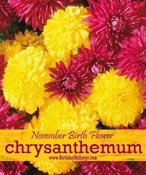 November Birth Flower Chrystanthemum The Flower Of