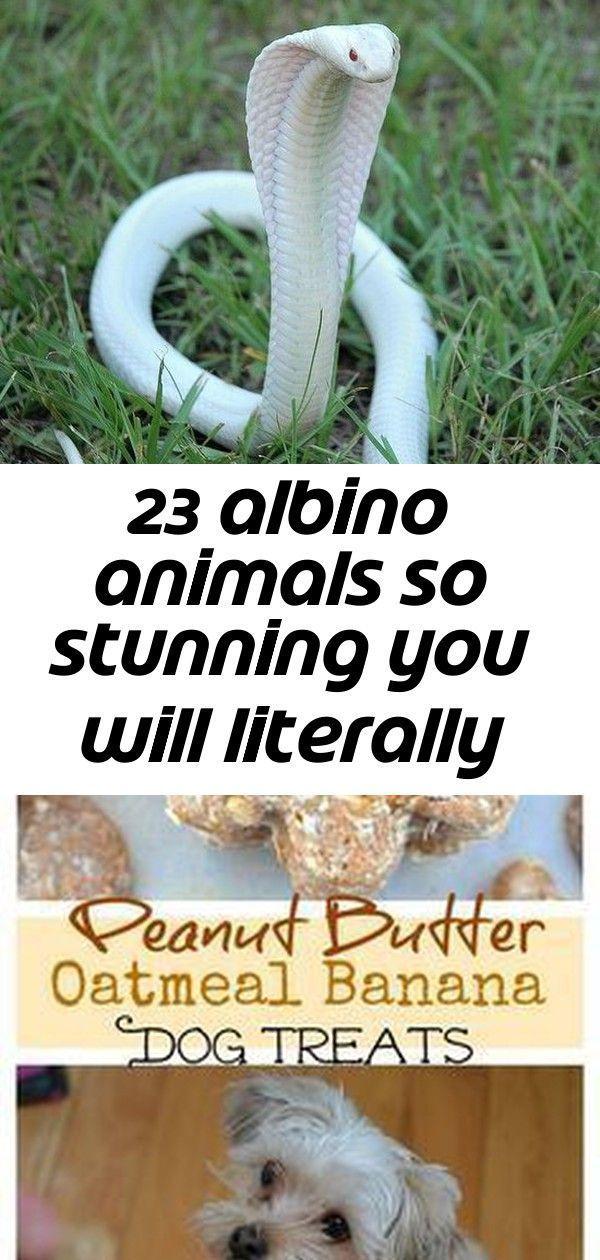 23 Albino-Tiere, so atemberaubend, dass Sie buchstäblich nach Luft schnappen werden. #Albinoanimals 23 Albino A ... -  23 Albinotiere, so atemberaubend, dass Sie buchstäblich nach Luft schnappen werden #albinoanimals  - #albino #albinoanimal #albinoanimals #albinotiere #amazinganimals #animalbackgroundiphone #animalwallpaperiphone #animalsplanet #atemberaubend #basicanimaldrawings #blackandwhiteanimalphotography #buchstablich #dass #Luft #nach #schnappen #Sie #tiere #werden #albinoanimals