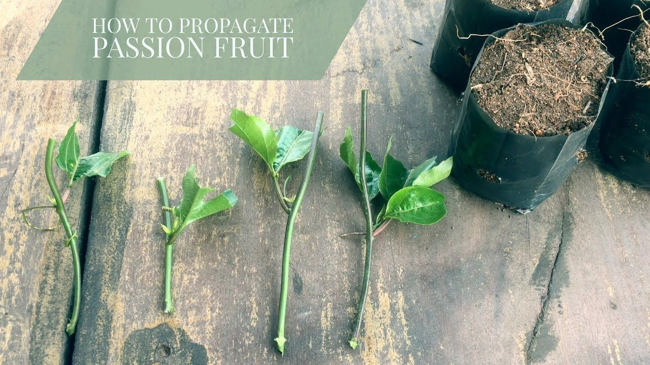 How To Propagate Passion Fruit From Cuttings Passiflora Edulis Youtube Passion Fruit Plant Propagating Plants Passion Fruit