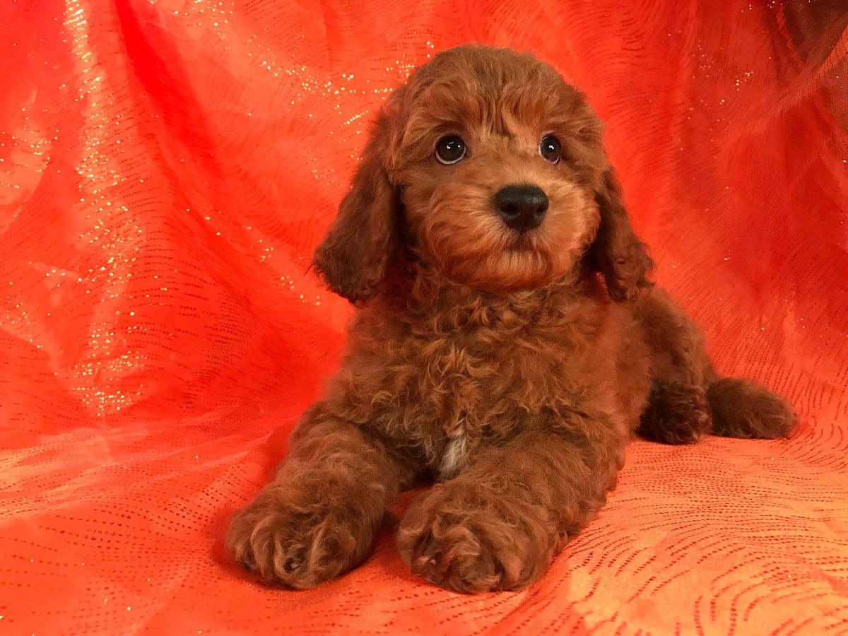 Pin by Nancy Austin on Cockapoo puppies (2020) Cockapoo