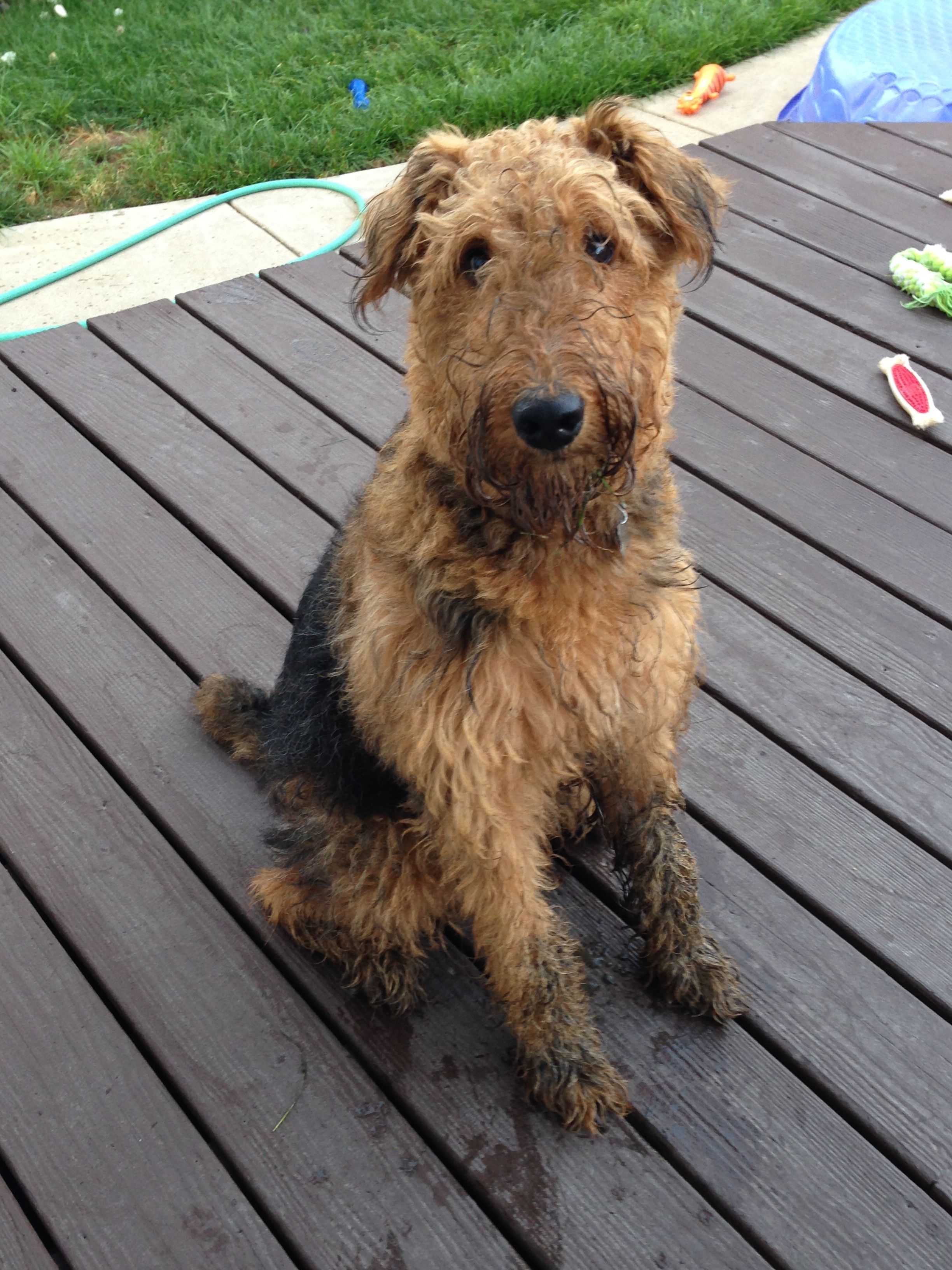 Mud No No No Natural Color Black And Tan Remember Airedale Terrier Dog Lovers Dogs