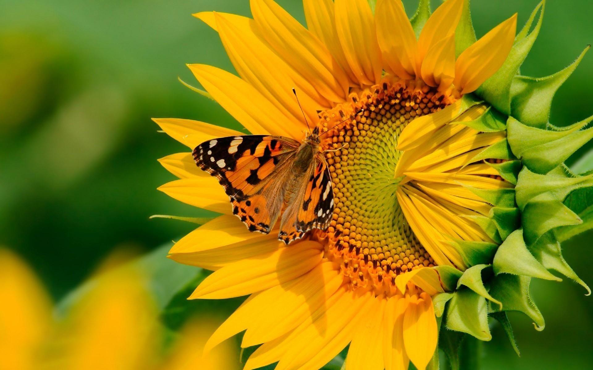 Animals Sunflower Butterfly on a sunflower Butterfly HD