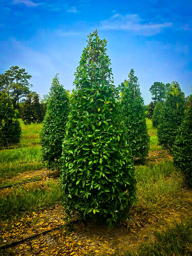 Savannah Holly in 2020 Thuja green giant, Hedging plants