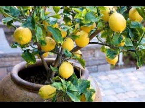 Youtube Fruit Trees In Containers How To Grow Lemon Growing Vegetables