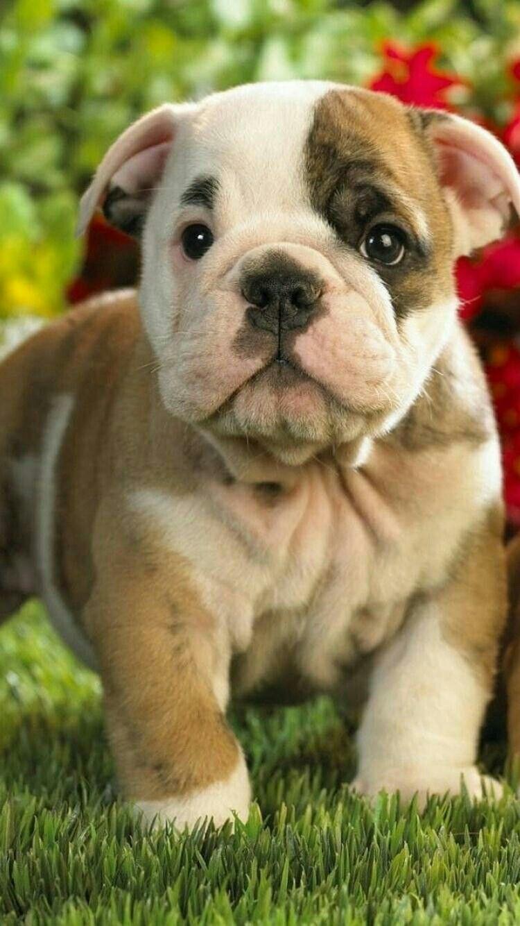 Pin by Dasha Rudenko on Animal Wallpapers Bulldog