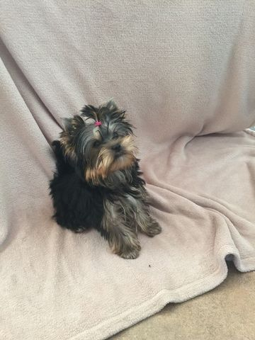Yorkshire Terrier Puppy For Sale In Kent Wa Adn 39779 On