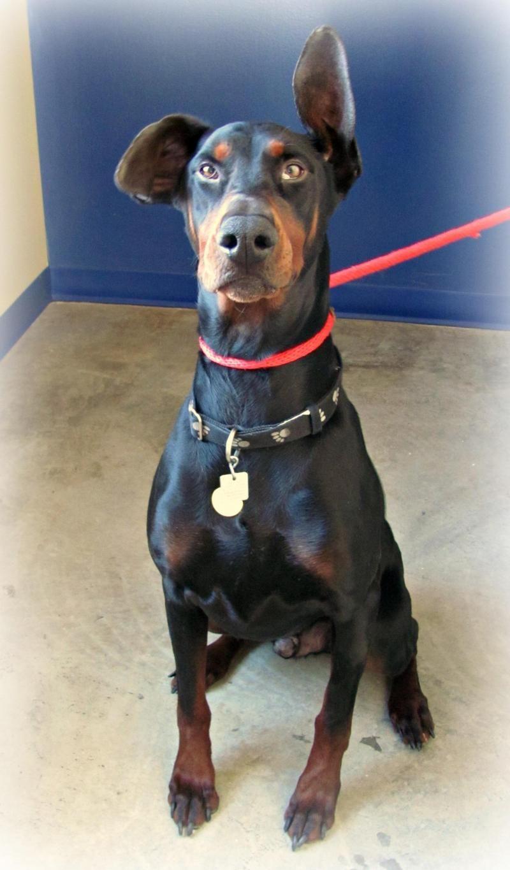 Adopt Coco on Doberman pinscher dog, Doberman pinscher