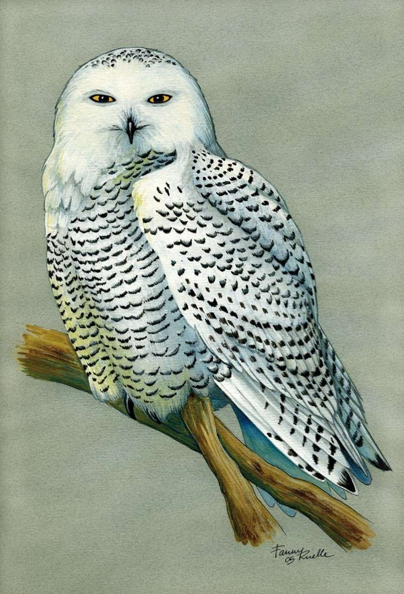 Chouette harfang snow owl dessin personnel dessins naturalistes - Chouette hedwige ...