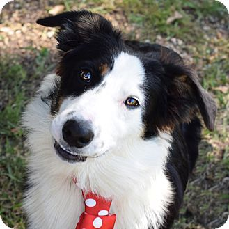 Colorado Springs Co Border Collie Australian Shepherd Mix Meet Ace A Dog For Adoption Http Www Adoptapet Com Pet Border Collie Border Collie Mix Collie